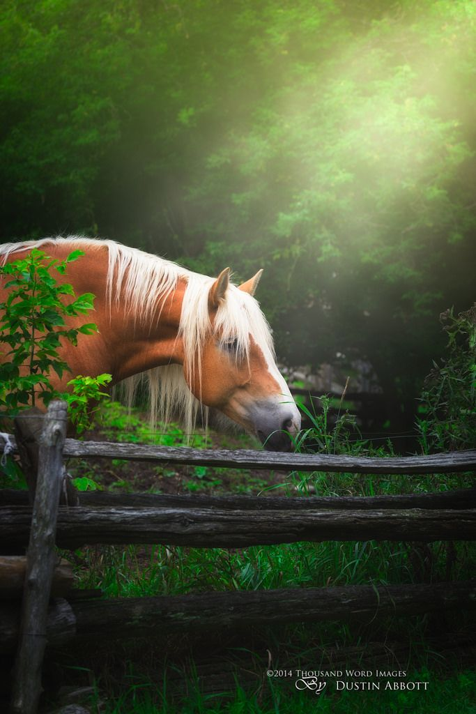 This massive Belgian Draft horse had both beautiful color and a beautiful mane. - title The Blond