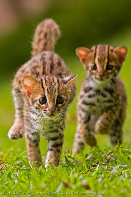 Leopard Cat - (Prionailurus bengalensis) is a small wild cat of South East Asia. It is widely distributed but threatened by habitat loss and hunting. There are twelve leopard cat subspecies, which differ widely in appearance. The leopard cat's name is derived from the leopard-like spots prevalent in all subspecies, but its relation to the leopard is distant.