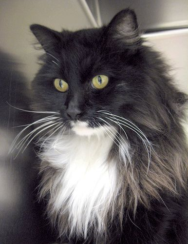 long haired tuxedo cat breed - missing my Princess