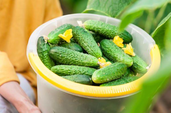Ранние огурчики - желанный овощ в весеннем салате, но покупать их настоящему огороднику как-то не с руки. Зачем покупать, если можно вырастить самим? Но вот беда - не у всех удаются огурцы. То они же…