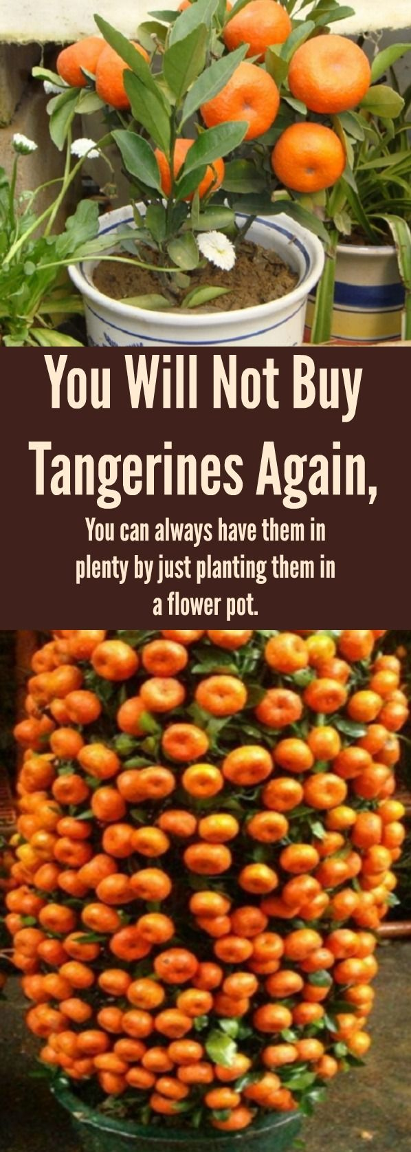 You Will Not Buy Tangerines Again, You can always have them in plenty by just planting them in a flower pot