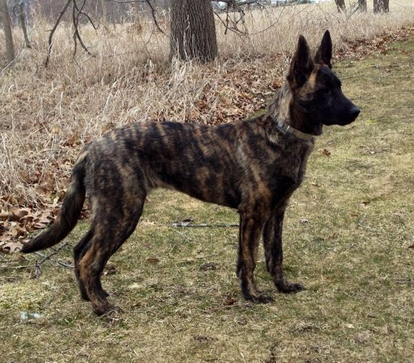 Dutch Shepherd.