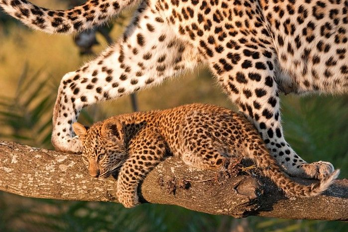 Leopard cub framed by Mum by Thomas Landgraf at Little Mombo, May 201