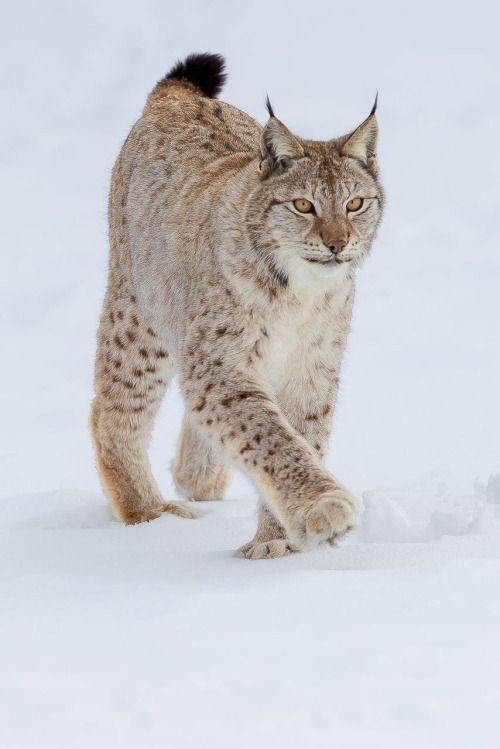 Boreal Lynx by © Dario Mesonero-Romanos