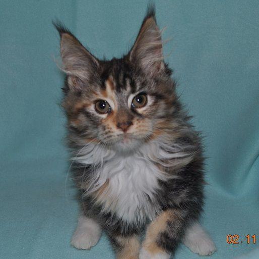 Koťátko mainská mývalí kočka. Koťátko Samantha.