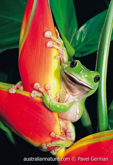 pamfrYY0001Green Tree Frog (Litoria caerulea) - The Green Tree Frog is an able climber, and uses its huge toe pads to hang on. It is found around buildings and gardens throughout much of Australia, as well as in a range of natural habitats. © Pavel German / Wildlife Images