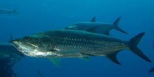 Image result for tarpon fish