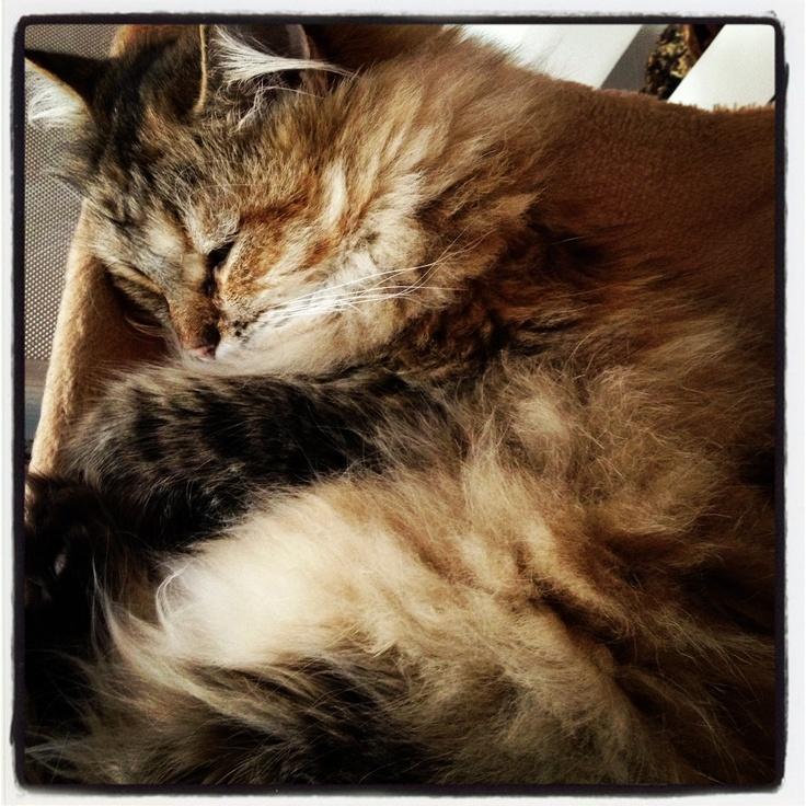 ..Chanel.. Nanna! #siberiancat #sleepy