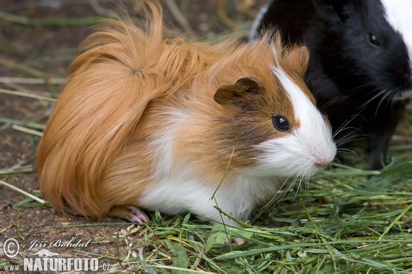 What is guinea pig?