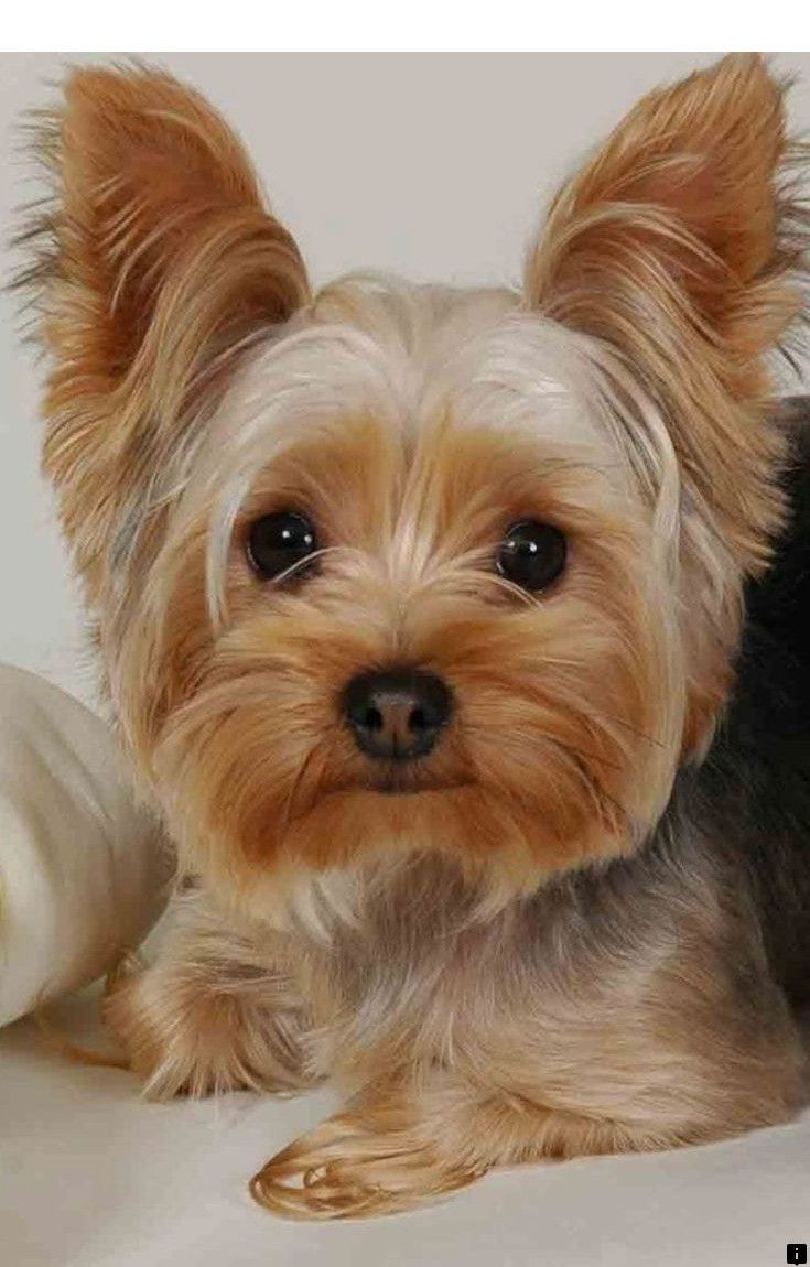 Click On The Link For More Puppies For Sale Follow The Link For More Viewing Yorkshire Terrier Puppies Yorkshire Terrier Dog