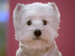 Dog Food Commercial With Westie