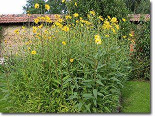 How to Grow Sunchoke (Jerusalem Artichoke) once you pot, they never stop!
