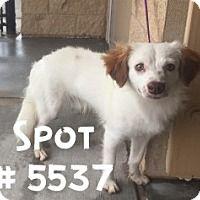 Adopt A Pet :: Spot - Alvin, TX