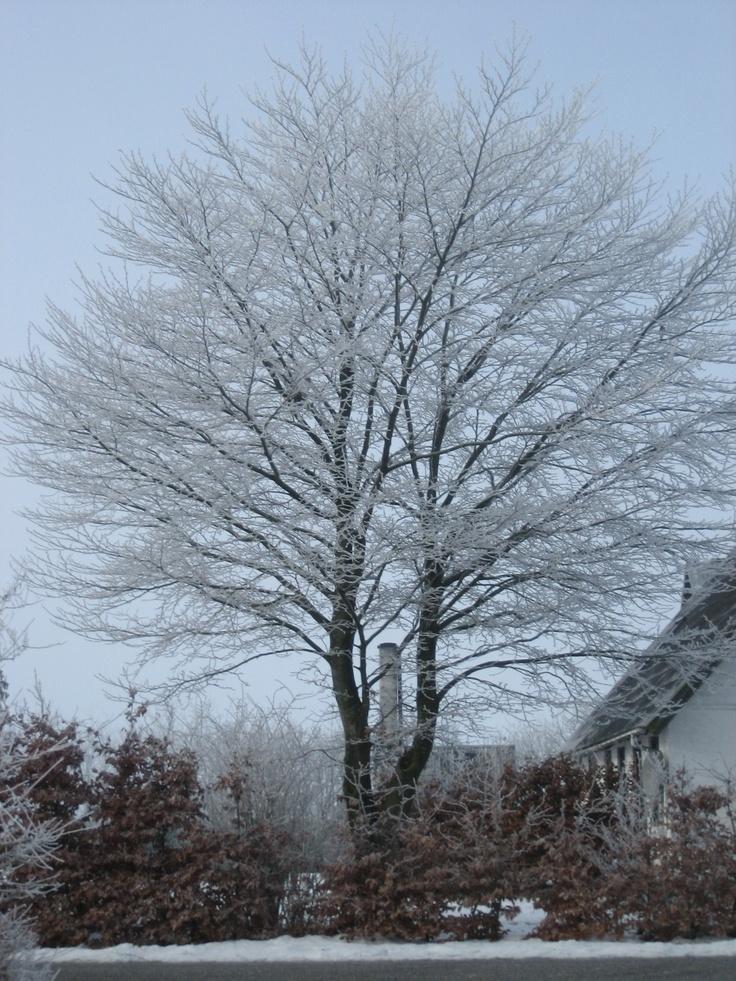 Naboens bøgetræ i vinterdragt.
