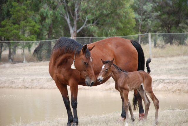 Majestic Son - Shining Sun  Standardbred Broodmare Foal Harness Racing Vicbred From Dr & Mrs Hartnett
