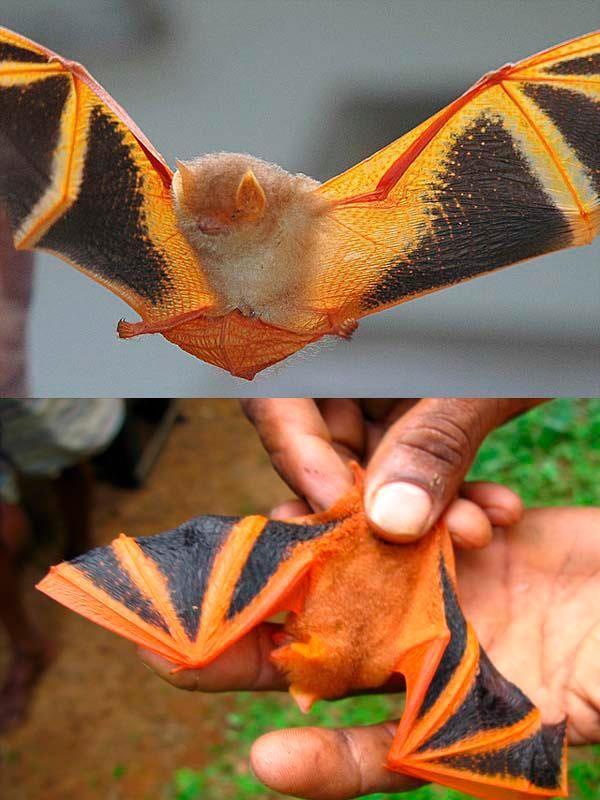 Morcego pintado (Kerivoula picta), encontrado na Ásia; chega a medir cerca de 20cm de envergadura de asa e se alimenta de insetos. As cores fortes são para enganar predadores, parecendo ser perigosos, já que vivem em lugares vulneráveis.