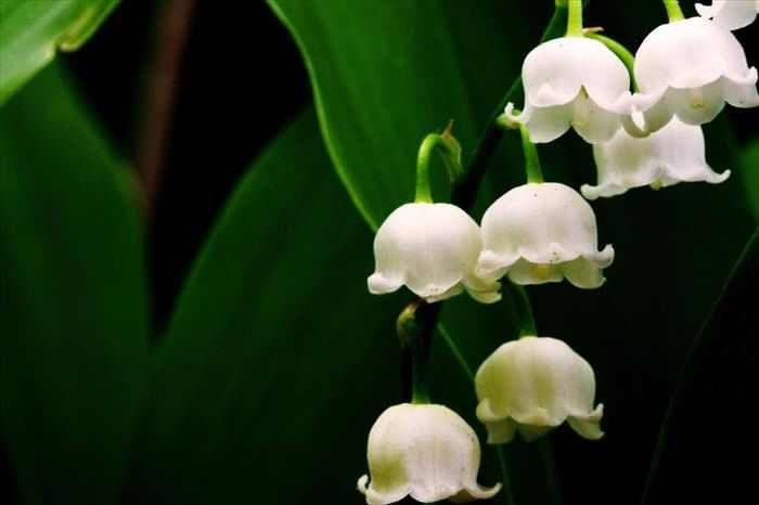 LIRIO DEL VALLE-Aunque el precio de esta majestuosa flor ronda los ...