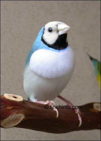 """Lady Gouldian Finch ... Many different color combinations: this one is actually a """"White-breasted, Red-headed, Blue Cock.""""  Yes, Red-headed!"""