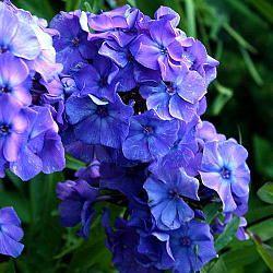 Флокс Blue Paradise (Блю Парадайз). Цветок лилово-сиренево-голубой. Высота 90-100 см.