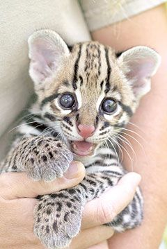 The ocelot, very rare and endangered,their  almost gone, save them