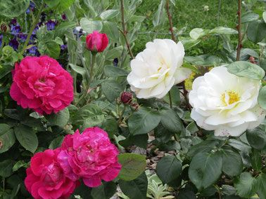 Early summer garden 2016. Nov.   Roses