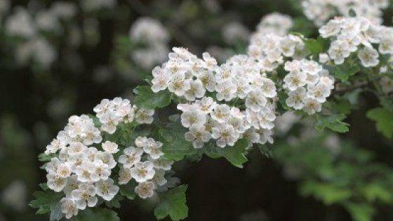 Da una pianta molto presente nella flora piemontese un valido aiuto per proteggere il sistema cardiovascolare