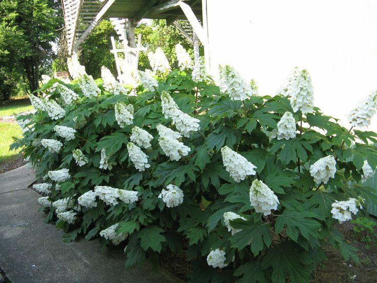 Gatsby Gal 174 Oakleaf Hydrangea Hydrangea Quercifolia The O Jays
