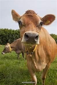 jersey cow, my pop loved them.