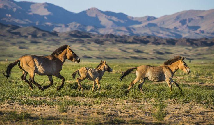 Série snímků fotografa Filipa Singera, z letošního úspěšného již páté návratu divokých koní z Troji do Mongolska, získala první cenu v soutěži Czech Press Photo 2015 v kategorii Příroda a životní prostředí.