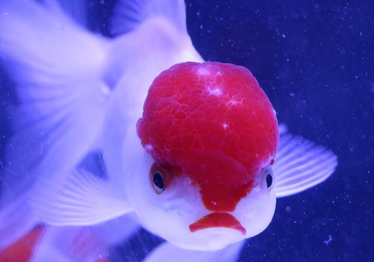 Online mail order Live fish store,Stocking a large range of live aquarium fish including tropical ,cold water, goldfish and aquarium plants, all shipped to you.