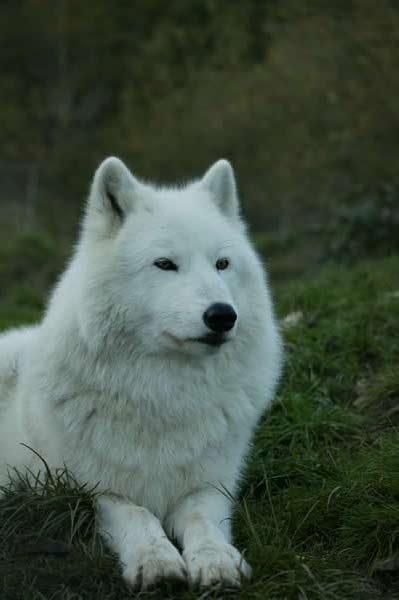 White Wolves - wolves photoyup that is so Angelica