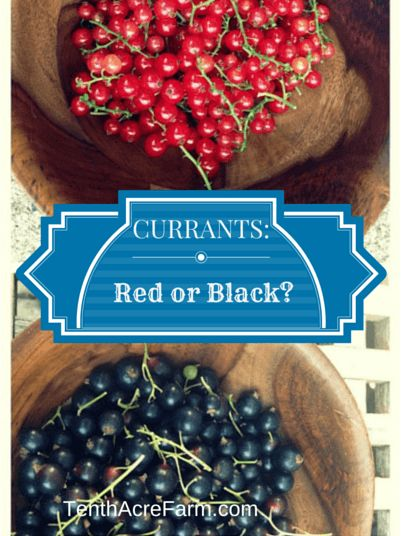 Growing CURRANTS red or black