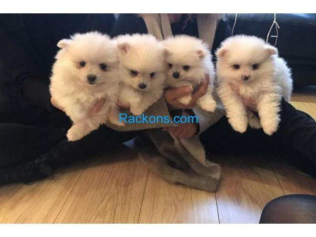 Rackons Com Toy Pomeranian Puppies Pomeranian Puppy For Sale Toy Puppies