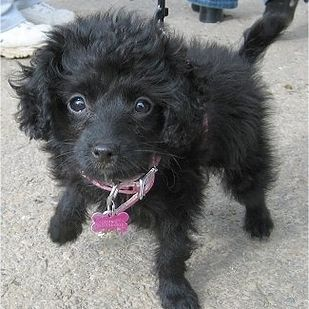 Toy Fox Terrier + Poodle = Foodle | 22 Awesome Poodle Mixes That You Totally Need To Know About