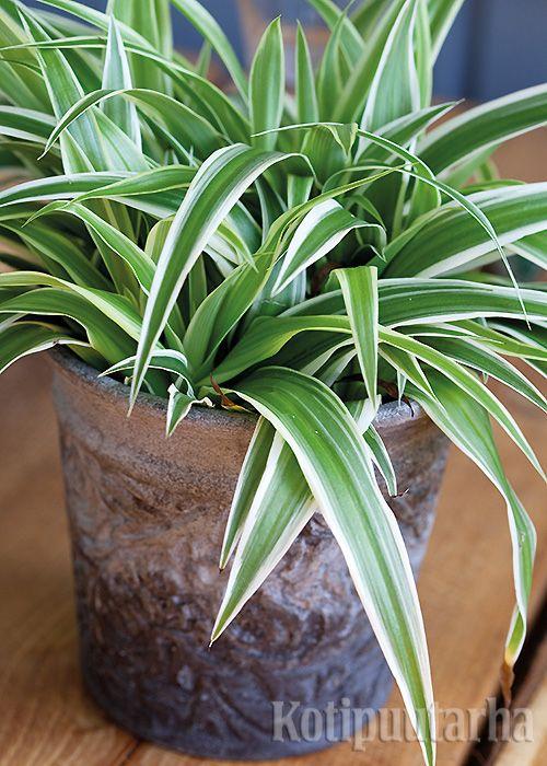 Rönsylilja viihtyy huoneenlämmössä ja pärjää sekä niukassa valossa että auringonpaisteessa. Se on erittäin terve kasvi ja puhdistaa myös huoneilmaa. Lue viherkasvien hoitovinkit http://www.kotipuutarha.fi/puutarhavinkit/koristekasvit/viherkasvien-hoito.html