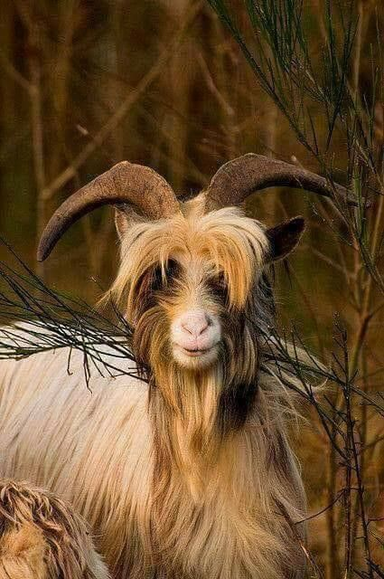 Wild Blberry Goat