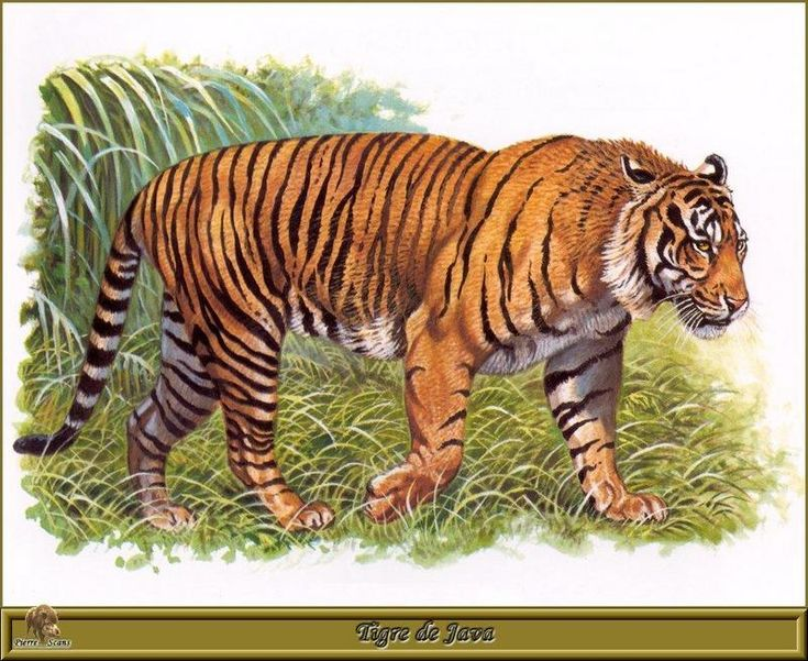 Korean Tiger Art | Animal Art - R. Dallet] Javan Tiger (Panthera tigris sondaica ...