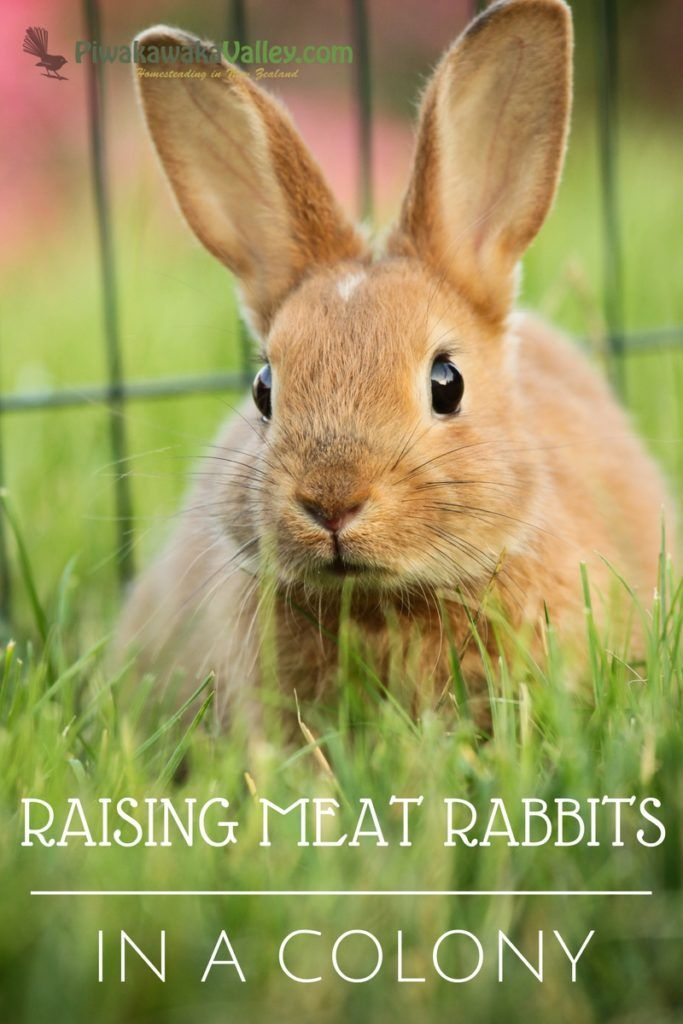 Here is the Ultimate guide to information on raising meat rabbits in a colony. Colony rabbits live in group housing and are free range rabbits. Housing & Feeding