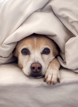 Puppy under the covers