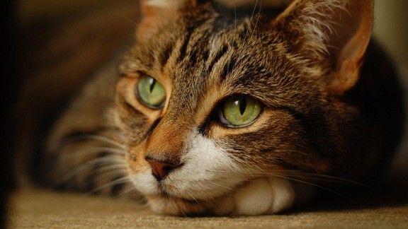 Evcil Kedi  #wallpaper #kedi #cat