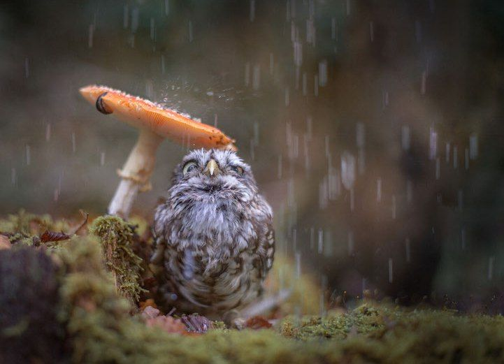 Story via My Modern Met Photographer Tanja Brandt's pet owl may not be a fan of rainstorms, but rain or shine he knows how to strike the perfect pose for the camera. During one of the artist's many outdoor adventures, it began to drizzle and her beloved 1.5-year-old owl Poldi took cover underneath an orange mushroom. …