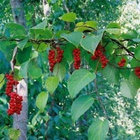 """FJÄRILSRANKA, Schisandra chinensis Traditionell, kinesisk medicinalväxt, även känd som """"de fem smakernas frukt"""". Praktfull, lövfällande klängväxt med doftande, vita-rosa, hängande småblommor och röda bär i druvlika klasar. För fruktsättning krävs han- och honplantor. Schisandra är en känd adaptogen och ingår i ett flertal naturläkemedel mot bl.a. trötthet och nedsatt prestationsförmåga."""