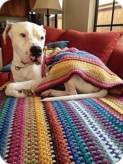Pictures of Hank the Tank a Dogo Argentino/American Bulldog Mix for adoption in Rancho San Diego, CA who needs a loving home.