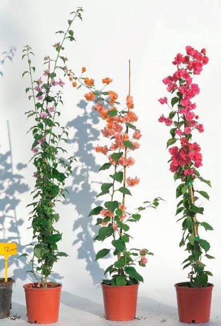 ЯК ПРИЙМАТИ живці бугенвіллії | Сад Eaden