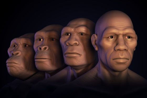 image #0097rs15 Human Evolution Conceptual image showing four stages of human evolution; Australopithecus, Homo Habilis, Homo Erectus and Homo Sapiens. #photo #image #dessin #evolution