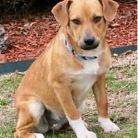 Fort Wayne, Indiana - Mixed Breed (Large). Meet Zoe, a for adoption. https://www.adoptapet.com/pet/20927621-fort-wayne-indiana-mixed-breed-large-mix
