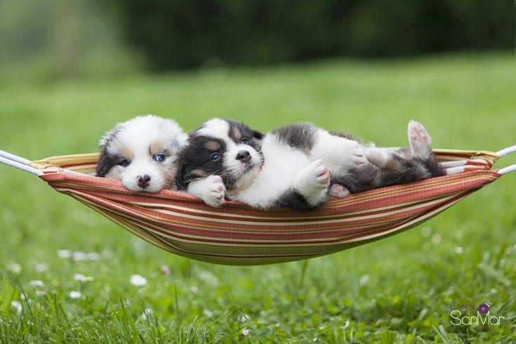 Nada como una siesta en pareja. Cachorros de Pastor Australiano