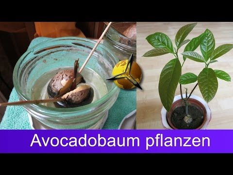 die besten 25 avocado samen ideen auf pinterest avocadobaum ziehen wachsende avocado und. Black Bedroom Furniture Sets. Home Design Ideas