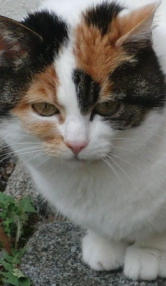 The Calico Cat - Cat Breeds Encyclopedia
