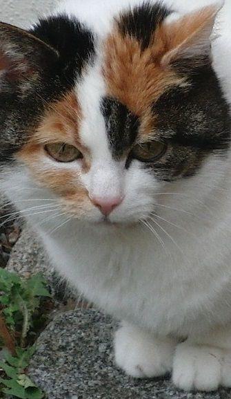 The Calico Cat - Cat Breeds Encyclopedia